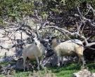 ovce-pod-figovimi-drevesi-uvala-vela-luka