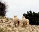 obzova-otok-krk-ovce